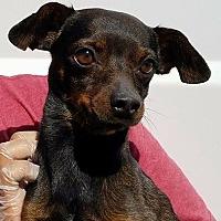 Adopt A Pet :: Duggar - Las Vegas, NV
