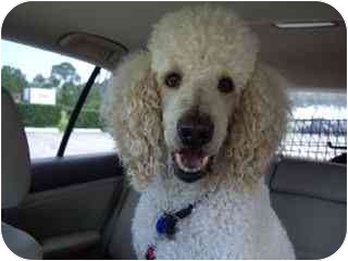 Poodle (Standard) Mix Dog for adoption in Melbourne, Florida - TRAVIS