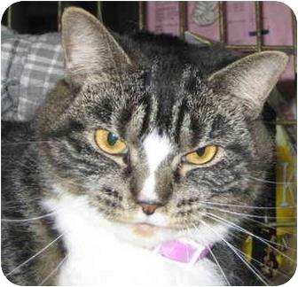 Domestic Shorthair Cat for adoption in Alden, Iowa - Jazzie