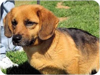 Dachshund/Labrador Retriever Mix Dog for adoption in Mahwah, New Jersey - Gabriella