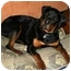 Photo 1 - Rottweiler Dog for adoption in Evansville, Indiana - Tango