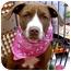 Photo 3 - American Staffordshire Terrier/Labrador Retriever Mix Puppy for adoption in Sacramento, California - Buttercup cute