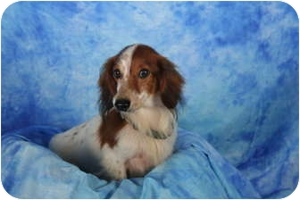 Dachshund Dog for adoption in Ft. Myers, Florida - Kollin
