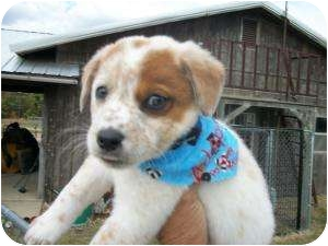 Australian Cattle Dog Puppy for adoption in Lonedell, Missouri - Rivera-5  (Red Heeler)