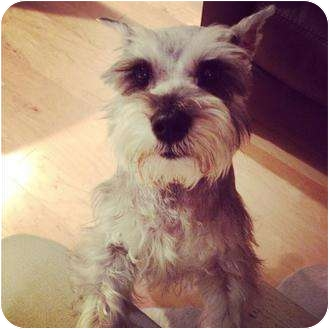 Schnauzer (Miniature) Dog for adoption in Lake Forest, California - Ginger