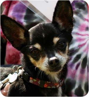 Chihuahua Mix Dog for adoption in petaluma, California - Holly