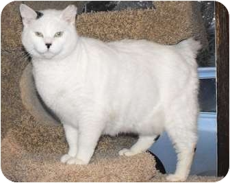 Domestic Shorthair Cat for adoption in Byron Center, Michigan - Chubbs