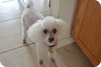 Poodle (Toy or Tea Cup) Mix Dog for adoption in Weeki Wachee, Florida - Chad
