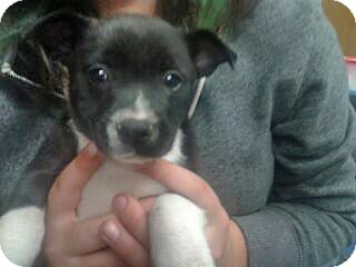Jack Russell Terrier/Shar Pei Mix Puppy for adoption in Brighton, Michigan - Dixie
