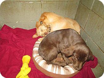 Labrador Retriever Mix Puppy for adoption in Henderson, North Carolina - H puppies
