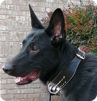German Shepherd Dog Dog for adoption in Nashville, Tennessee - Kobi