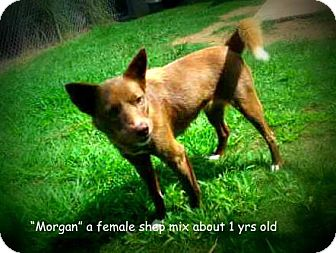 Shepherd (Unknown Type) Mix Dog for adoption in Gadsden, Alabama - Morgan