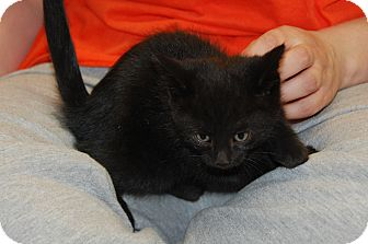 Domestic Shorthair Kitten for adoption in Bucyrus, Ohio - Cokie Cola