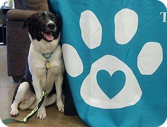 Border Collie Mix Dog for adoption in Kimberton, Pennsylvania - Natasha