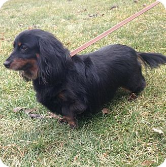 Dachshund Dog for adoption in Downers Grove, Illinois - Lily