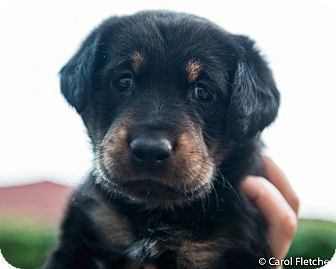 Rottweiler Mix Puppy for adoption in Wethersfield, Connecticut - Indy