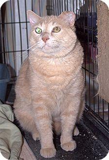 Domestic Mediumhair Cat for adoption in Fallbrook, California - Bucco