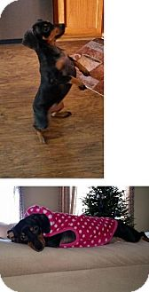 Dachshund Dog for adoption in Rosemount, Minnesota - Mia