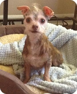 Chihuahua Dog for adoption in Palatine, Illinois - Napoleon