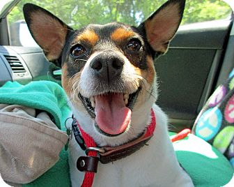 Rat Terrier Dog for adoption in Baltimore, Maryland - Pooch