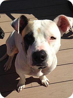 Boxer/American Staffordshire Terrier Mix Dog for adoption in Streamwood, Illinois - Kloe
