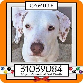 Labrador Retriever Mix Dog for adoption in Austin, Texas - Camille