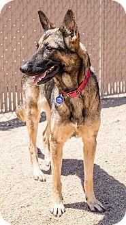 German Shorthaired Pointer Mix Dog for adoption in Phoenix, Arizona - Angie