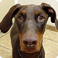 Adopt A Pet :: Simon - Las Vegas, NV