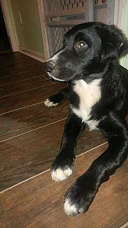 Labrador Retriever/Beagle Mix Dog for adoption in Richmond, Kentucky - Stitch