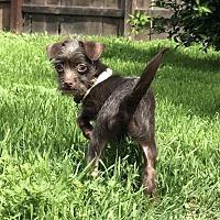 Adopt A Pet :: Choco - Los Alamitos, CA