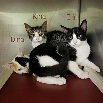 Domestic Shorthair Kitten for adoption in Gautier, Mississippi - Erin