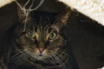 Domestic Shorthair/Domestic Shorthair Mix Cat for adoption in Richmond, Virginia - Vendee