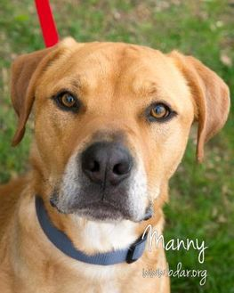 Labrador Retriever/American Pit Bull Terrier Mix Dog for adoption in Cheyenne, Wyoming - Manny