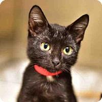 Domestic Mediumhair Kitten for adoption in West Palm Beach, Florida - ABBIE
