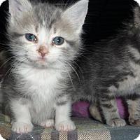 Adopt A Pet :: Manx kittens - Dallas, TX