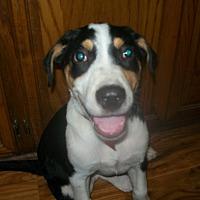 Adopt A Pet :: Dr. Spock - Mansfield, TX