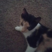 Adopt A Pet :: ATHENA - Rossford, OH