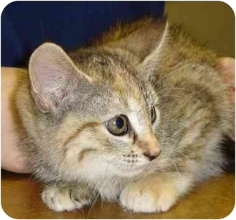 Domestic Shorthair Kitten for adoption in Houston, Texas - Polo
