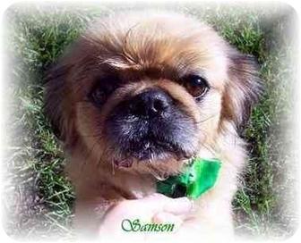 Pekingese Mix Dog for adoption in Homer, New York - Samson