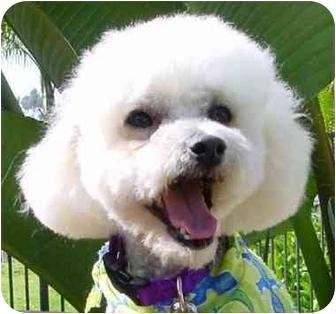 Bichon Frise Mix Dog for adoption in La Costa, California - Stevie