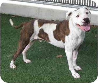Pit Bull Terrier Mix Dog for adoption in San Diego, California - Boss