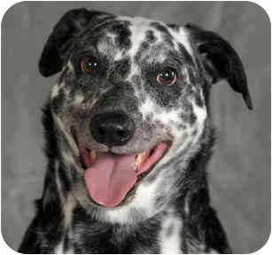 Dalmatian Mix Dog for adoption in Chicago, Illinois - Spot