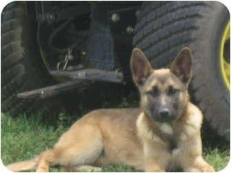 German Shepherd Dog Puppy for adoption in harrah, Oklahoma - Scarlet
