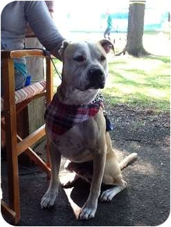 American Bulldog/American Staffordshire Terrier Mix Dog for adoption in Warren, Michigan - Joey
