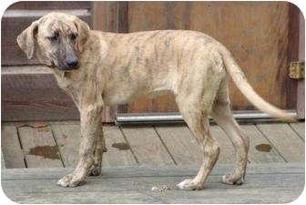 Plott Hound Mix Dog for adoption in Staunton, Virginia - Polly