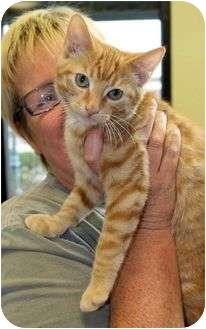 Oriental Kitten for adoption in Farmington, Michigan - Glowbug: 3 months