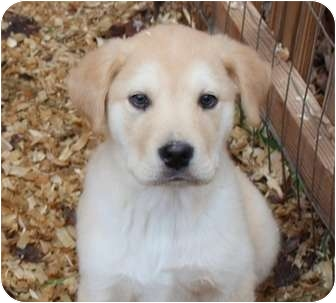 Labrador Retriever Mix Puppy for adoption in Spring Valley, New York - Vanderbilt