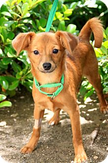 Terrier (Unknown Type, Small) Mix Puppy for adoption in Mission Viejo, California - Grace