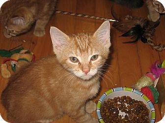 Domestic Mediumhair Kitten for adoption in Portland, Maine - Simon
