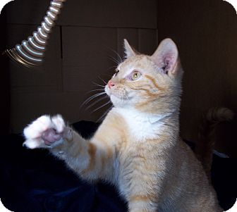 Domestic Shorthair Cat for adoption in Brookville, Indiana - Tang